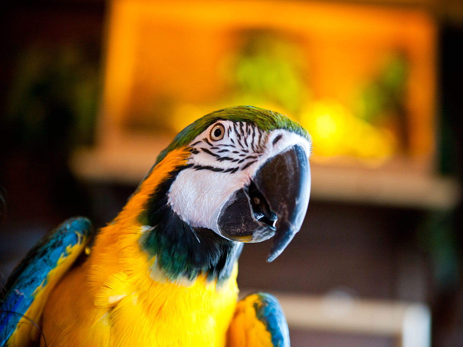 Parrot gawking